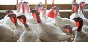 Cover photo for 2018 Youth Market Turkey Show