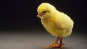 yellow chick with a black background