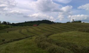 hay field before being baled