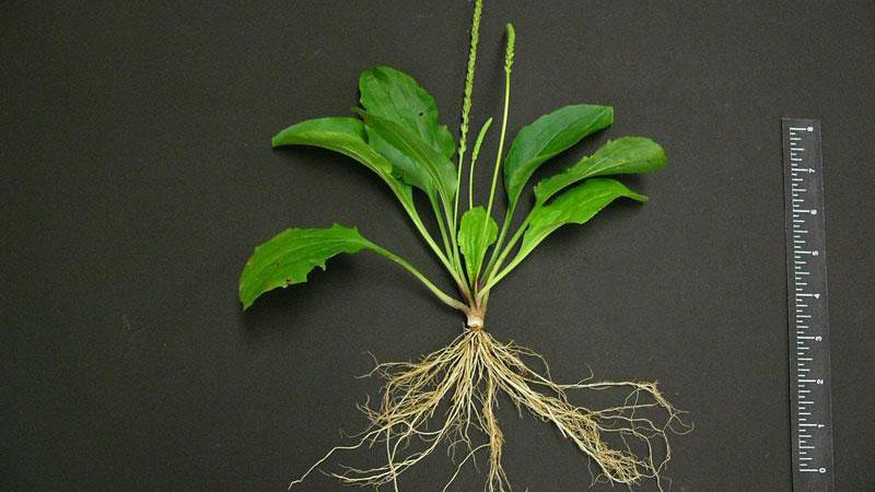 blackseed plantain