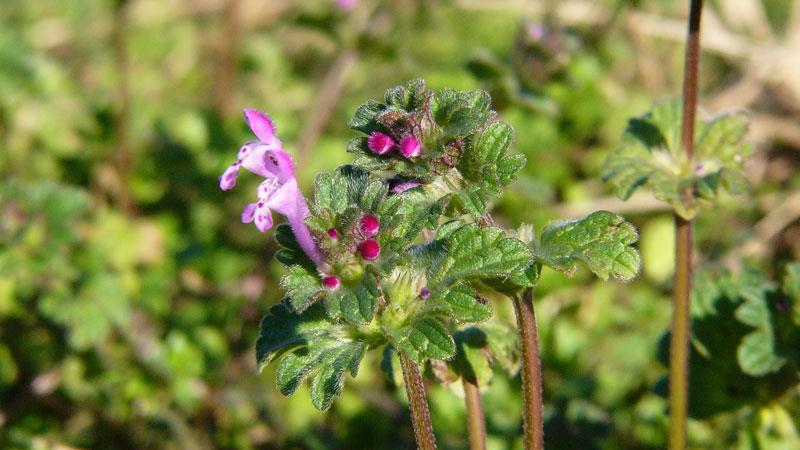 henbit flower
