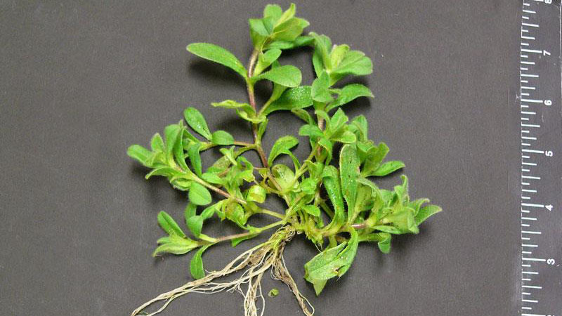 mousear chickweed
