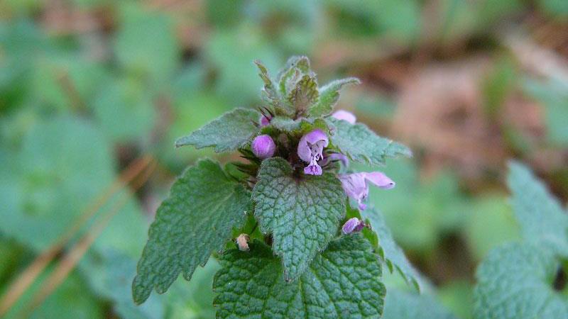 purple deadnettle flower