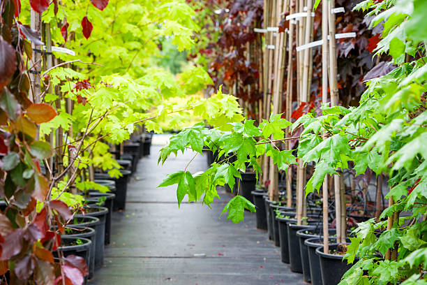 Rows of young maple trees in plastic pots