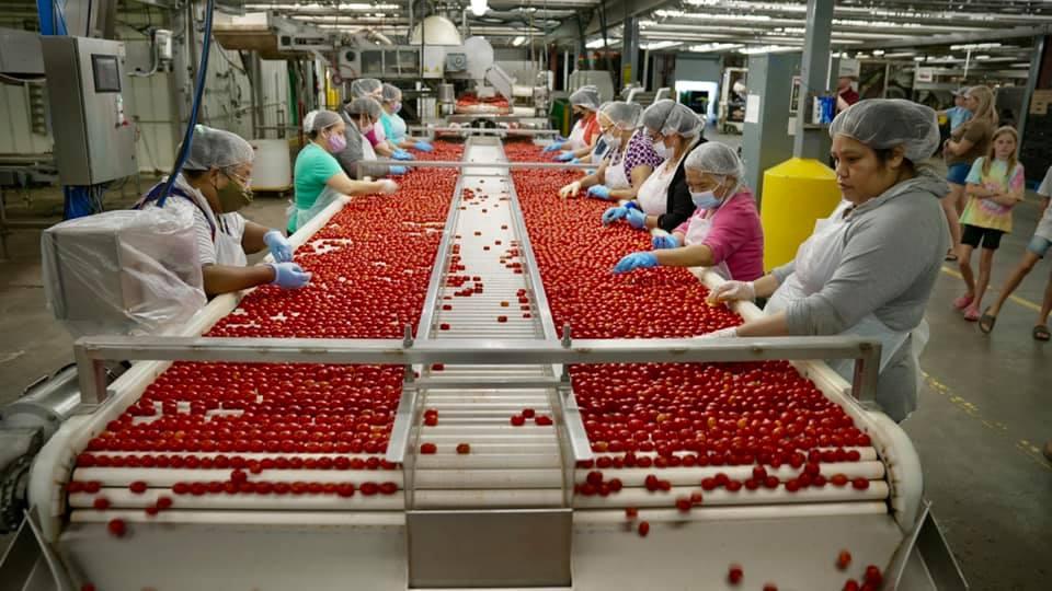 People sorting vegetables on a conveyor belt