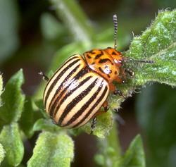 Cover photo for Colorado Potato Beetles