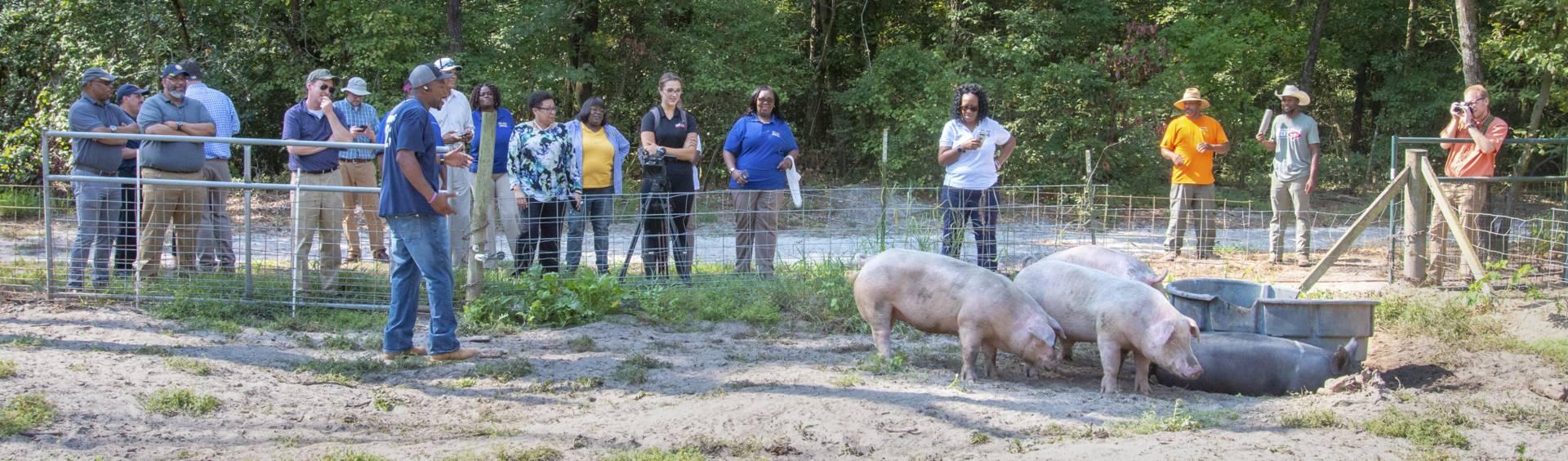 People looking at hogs